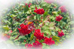 Red berries of a guelder-rose bush Stock Images