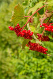 Red berries of a guelder-rose bush Royalty Free Stock Photo