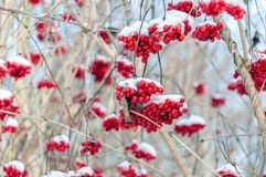 Red berries of a guelder-rose covered with snow from close. Old and weathered bright red berries, branches and twigs of a guelder-rose covered with snow. It is a stock image