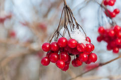 Red berries of a guelder-rose covered with snow Stock Photos