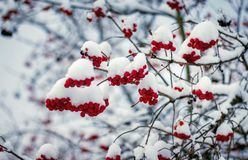 The red berries of guelder rose covered with white snow in winte stock images