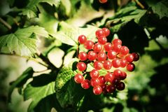 Red berries of a guelder-rose with photoeffect Royalty Free Stock Images