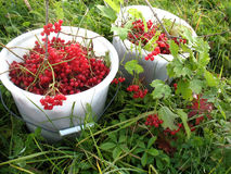 Red berries of guelder-rose Royalty Free Stock Image