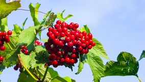 Red berries of a Guelder rose or Viburnum opulus close-up against sky selective focus, shallow DOF.  stock photography