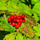 Red berries of a Guelder rose, Viburnum opulus, close-up selective focus, shallow DOF. Red berries of a Guelder rose or Viburnum opulus, close-up selective focus royalty free stock images
