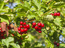Red berries of a Guelder rose, Viburnum opulus, close-up selective focus, shallow DOF Stock Image