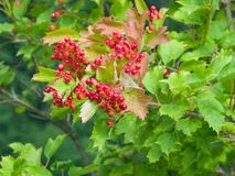 Red berries of a Guelder rose, Viburnum opulus, close-up selective focus, shallow DOF royalty free stock photos