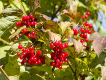Red berries of a Guelder rose or Viburnum opulus, selective focus Stock Photos