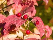 Red berries of a Guelder rose or Viburnum opulus, selective focus Royalty Free Stock Images