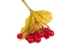 Red berries of a guelder-rose on white. Red berries of a guelder-rose with sun on sky Stock Photo