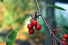 Red berries hanging on the tree in Autumn. Red berries hanging on the tree with the foliage background Stock Photography