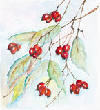 Red berries of a hawthorn Stock Image