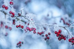 Red Berries in hoarfrost. Winter scene, red berries and hoarfrost Stock Image