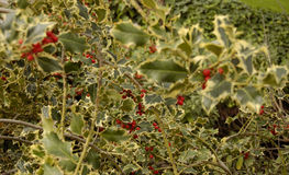 Red berries on holly. Background of red berries on holly plants Royalty Free Stock Images