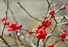 Red berries holly on branches Stock Photos