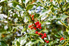 Red berries holly bush Royalty Free Stock Images