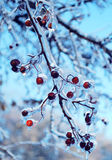 Red berries in the ice. Many red berries in the ice Royalty Free Stock Images