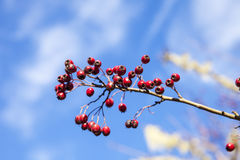 Red Berries Isolated Against The Sky Royalty Free Stock Image