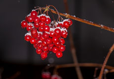 Red berries Kalina under the snow Royalty Free Stock Photography