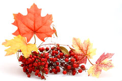 Red berries and leaves Royalty Free Stock Photos