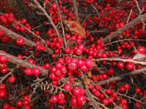 Red berries. Light bright contrast fall autumn red vivid berry Stock Photo
