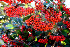 Red berries. A lot red rowan in the garden royalty free stock photography