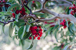 Red Berries - Madrone Tree - Texas. Cluster of red berries on a Madrone tree in Guadalupe Mountains National Park in Texas. Arbutus texana is found on rocky Stock Photos