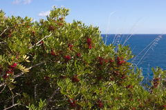 Red berries on Mastic tree, Pistacia Lentiscus- Sicily Royalty Free Stock Photography
