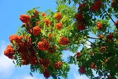 Red berries of mountain ash against the background of tree branc. Orange branch mountain ash in sunlight. autumn start royalty free stock images