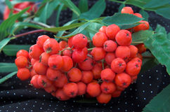 Red berries of a mountain ash on a branch. Red berries of a mountain ash on a black background Royalty Free Stock Photo