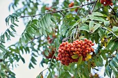 Red berries of a mountain ash Stock Image