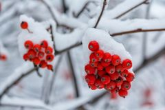 Red berries of mountain ash covered with snow in the park Royalty Free Stock Photography