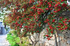Red berries of mountain ash on green tree on the old stone wall. Beautiful red berries of mountain ash among the green foliage on the background of an old stone Stock Images
