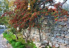 Red berries of mountain ash on green tree on the old stone wall. Beautiful red berries of mountain ash among the green foliage on the background of an old stone Royalty Free Stock Photo
