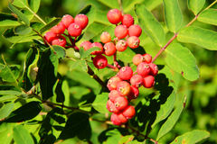 Red berries on mountain ash Stock Photos