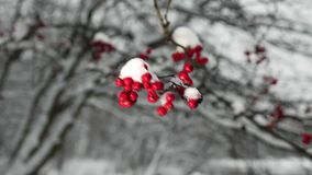 Red berries of mountain ash with snow. Winter background stock footage