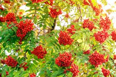 Red berries of mountain ash in the sunlight. Red, ripe berries of mountain ash in the sunlight. Warm autumn day. Sunny toned royalty free stock images