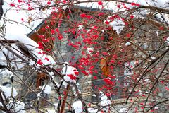 Red berries of mountain ash under the snow Royalty Free Stock Photography