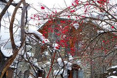 Red berries of mountain ash under the snow Royalty Free Stock Images