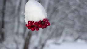 Red berries mountain ash under snow. Snowfall, winter storm stock footage