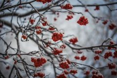 Red berries of mountain ash under the snow. Snow-covered branches of red mountain ash on a cold winter day stock photos