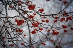 Red berries of mountain ash under the snow. Snow covered branches of red mountain ash on a cold winter day Stock Images