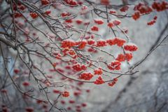 Red berries of mountain ash under the snow. Snow-covered branches of red mountain ash on a cold winter day Royalty Free Stock Photo