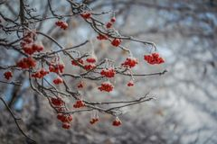 Red berries of mountain ash under the snow. Snow-covered branches of red mountain ash on a cold winter day royalty free stock image