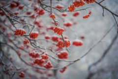 Red berries of mountain ash under the snow. Snow-covered branches of red mountain ash on a cold winter day stock image
