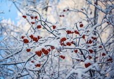 Red berries of mountain ash under the snow. Snow-covered branches of red mountain ash on a cold winter day royalty free stock images