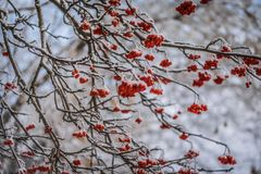 Red berries of mountain ash under the snow. Snow-covered branches of red mountain ash on a cold winter day stock photography