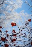 Red berries of mountain ash under the snow. Snow-covered branches of red mountain ash on a cold winter day royalty free stock photography