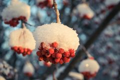 Red berries of mountain ash under the snow. Snow-covered branches of red mountain ash on a cold winter day Royalty Free Stock Photos
