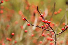 Red berries on the naked branch in autumn Stock Photos